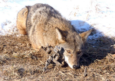 coyote caught in trap