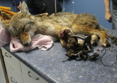 coyote-caught-trap-on-table-by-critter-care-wildlife-society