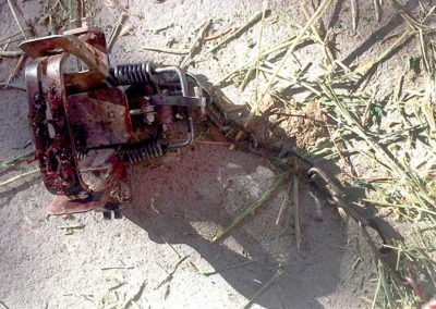 Steel-jaw trap that mutilated bobcat