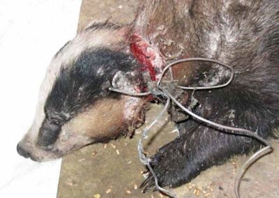 badger-mutilated-in-snare