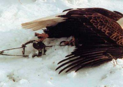 bald-eagle-trapped