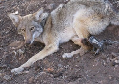 coyote in trap mangled leg