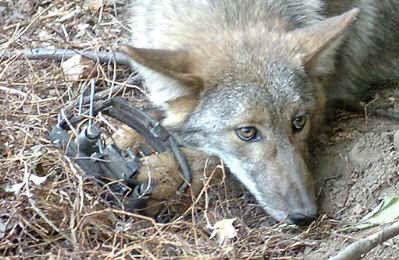 coyote-in-trap-petition