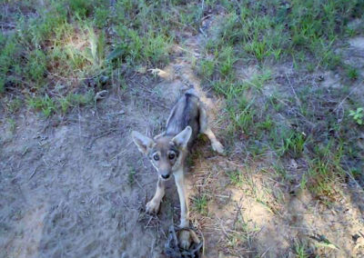 coyote-puppy-caught-in-trap-640