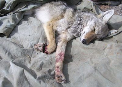 coyote-with-severe-trap-injury