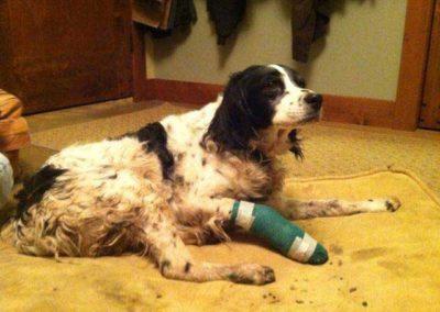 dog-trap-victim-leg-bandage