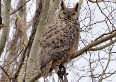 horned owl w trap on foot