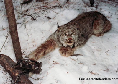 lynx-trapped-snow-furbearer-defenders-900