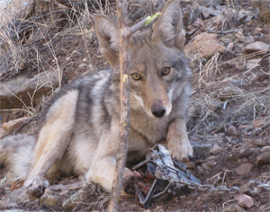 the-nm-coyote-in-the-trap