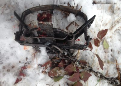 trap in snow with blood