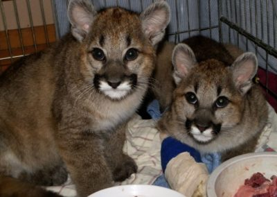 two sisters - cougar cub recovering from trap injury to leg - photo by Kerrin Grant