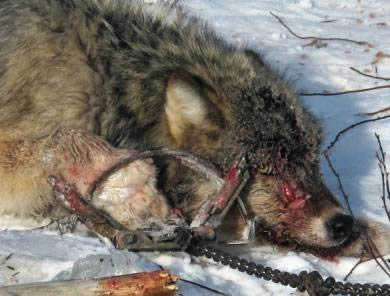 wolf-in-leghold-trap-390