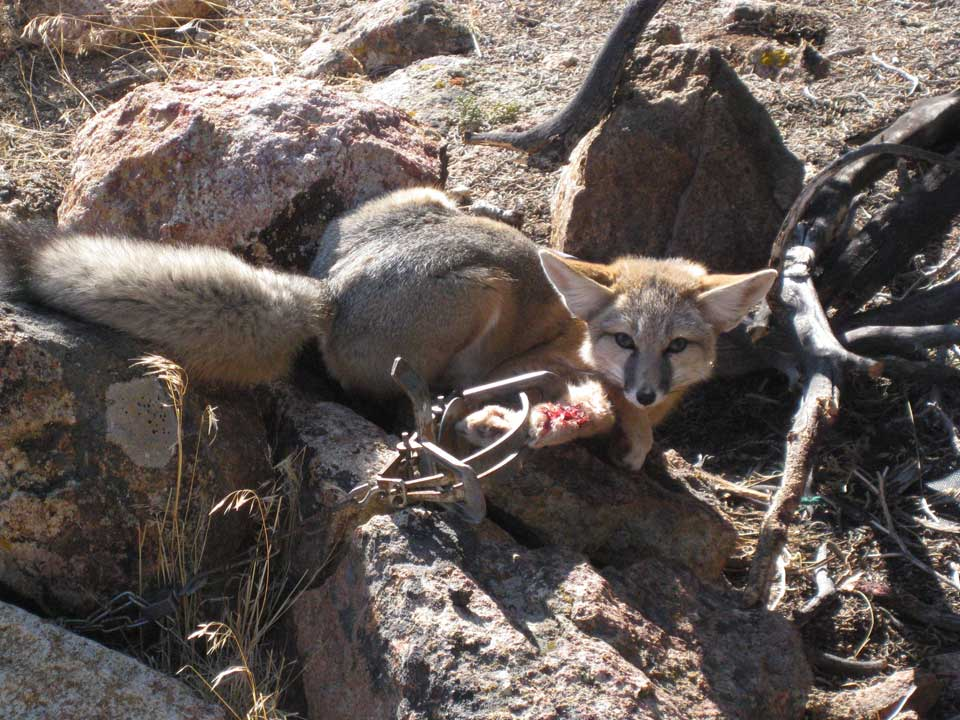 fox with massive injuries caught in steel-jaw leg-hold trap