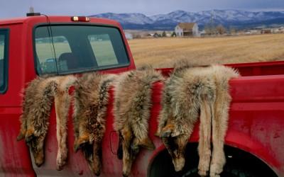 The Case for Mass Slaughter of Predators Just Got Weaker