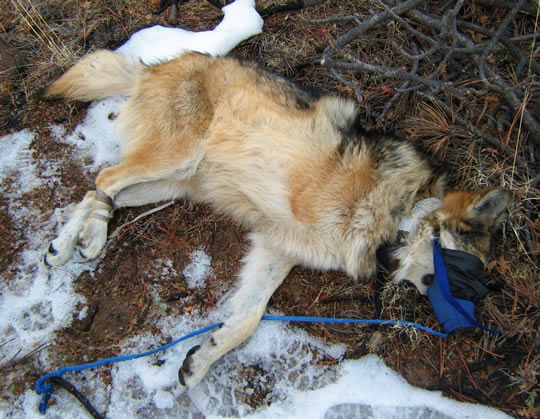 Endangered Mexican wolf trap victim amputee