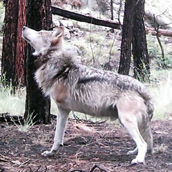 Endangered Mexican wolf trap victim