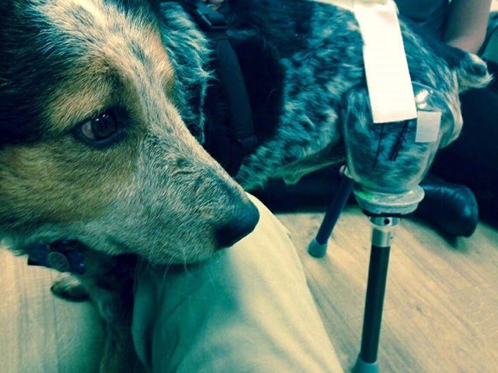 'Miracle' Dog Exposes America's Shameful Use Of Leghold Traps