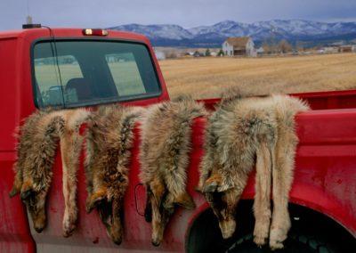 01-lethal-predator-livestock.ngsversion.1472817602649.adapt.1900.1