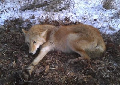 coyote caught in leg-hold trap
