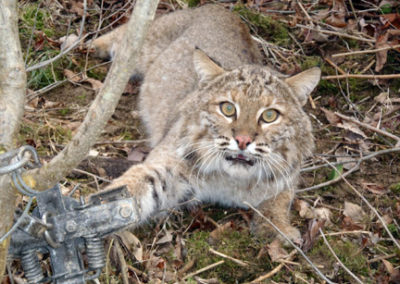 bobcat caught in steel-jaw leg-hold trap