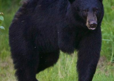 black-bear-3-legs