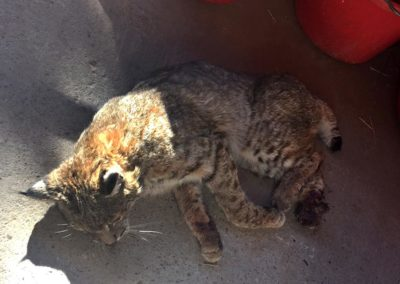 Bobcat severely mutilated by steel-jaw trap