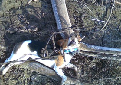 carsons-beagle