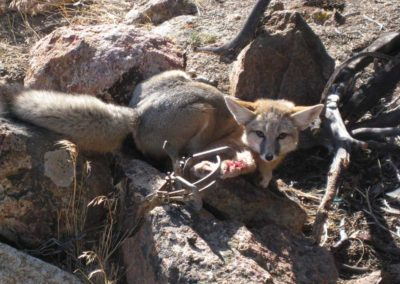 Fox suffering massive injuries in steel-jaw trap