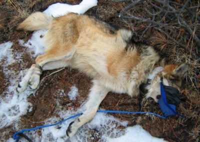 The endangered Mexican wolf lost a limb due to injuries inflicted by a steel-jaw leg-hold trap