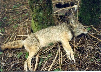USDA_Coyote_WS_Necksnare