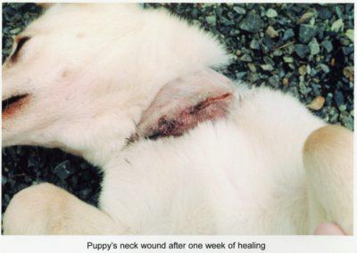 usda_pup_ws_necksnare_injury