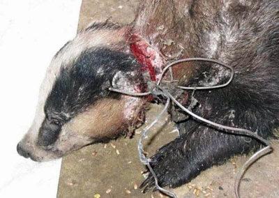 badger-snare-mutilation-590