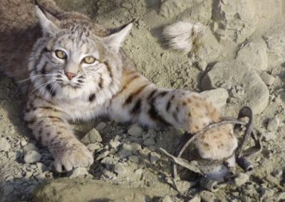 bobcat-trapped-1024x768