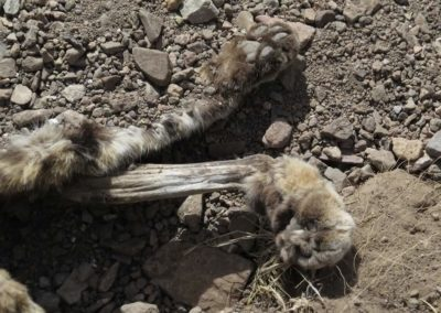 Carcass pile dumped by trapper