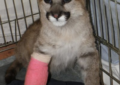 cougar cub recovering from trap injury to leg - photo by Kerrin Grant