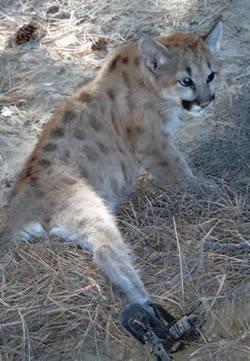 cougar-kitten-250