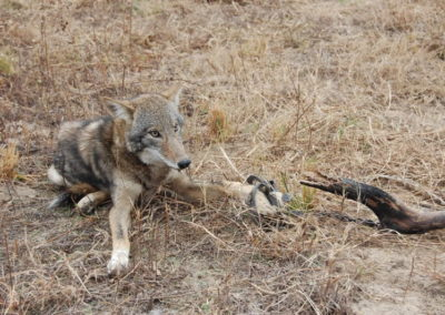 coyote caught in a trap HCN
