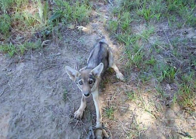 coyote-puppy-caught-in-trap-540
