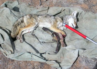 coyote-with-severe-trap-injury-2