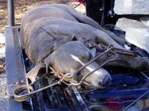 dog Zephyr in Conibear trap