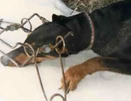 dog-doberman-caught-in-conibear-trap