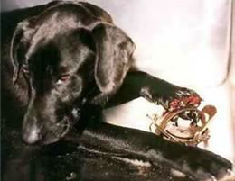 dog-with-mutilated-paw-in-trap