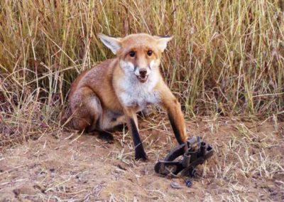 fox in trap
