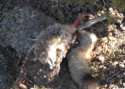 fox-killed-in-trap-body-mutilated-900