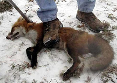 fox-trapped-strangled-crushed-540