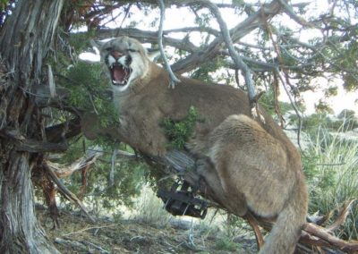 mountain lion trapped in tree