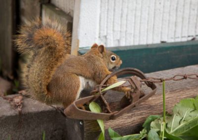 squirrel trapped
