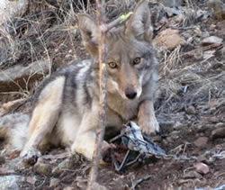 Trapped coyote