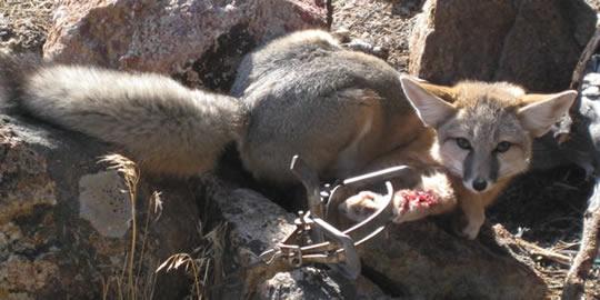 Trapped swift fox