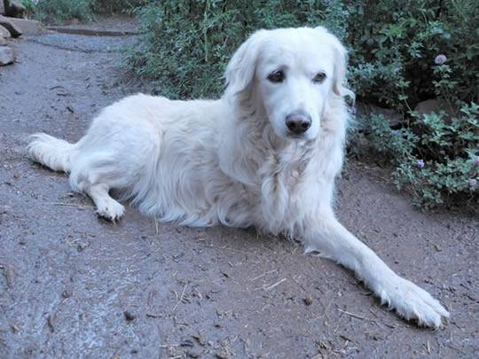 Dog maimed by leg hold trap